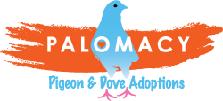 Palomacy Pigeon and Dove Adoptions